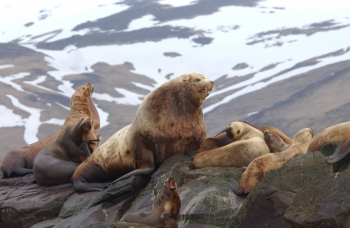 Eastern Steller sea lion, the most recent delisting from NOAA Fisheries