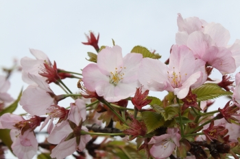 Cherry blosssoms (Photo: National Park Service