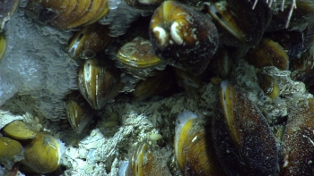 Towards the end of the first dive, we found a carbonate outcrop inhabited with the chemosynthtic mussel Bathymodiolus sp. These mussels appeared to be encased in methane hydrate, formed by methane gas conglomerating at their base.