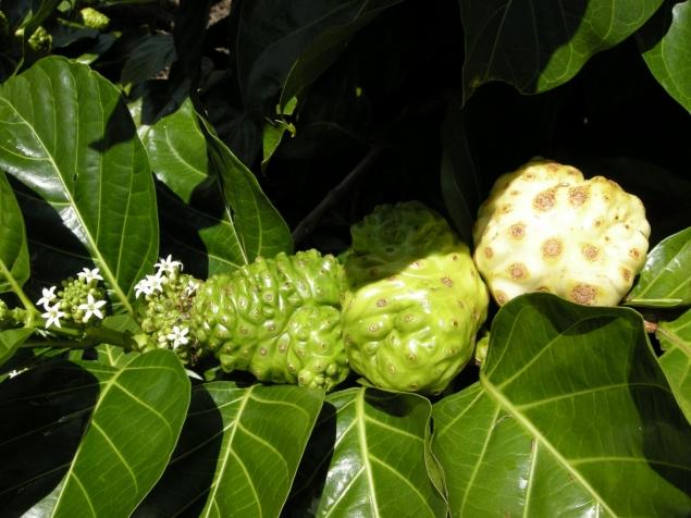 Noni Biotech's Noni Fruit