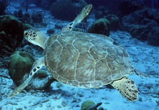 Image of sea turtle underwater. Click for larger image.