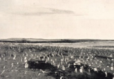 Image of remains of a cornfield after grasshoppers had completed destruction by the Drought of 1931-32. Click for larger image.